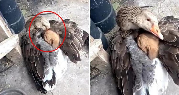 Συγκινητικό: Χήνα αγκαλιάζει αδέσποτο κουτάβι για να μην κρυώνει