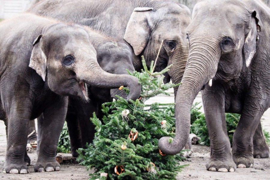 Βίντεο: Ελέφαντες τρώνε τα χριστουγεννιάτικα δέντρα σε ζωολογικό κήπο